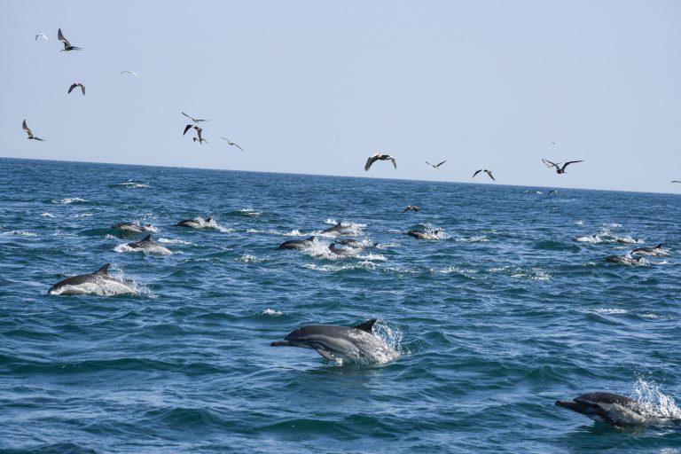 Las ondas sonoras que se producen durante la prospección sísmica afecta la biodiversidad marina. Foto. Mario Gomi /Oceana