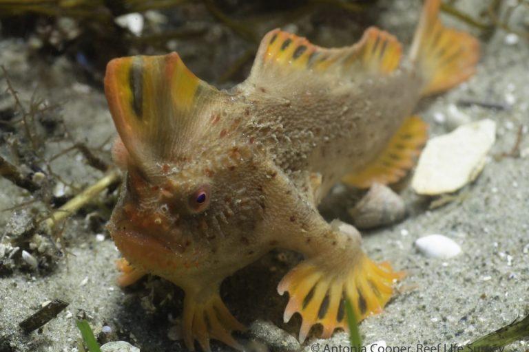Pez de manos rojas. Foto de Antonia Cooper/Universidad de Tasmania/Reef Life Survey