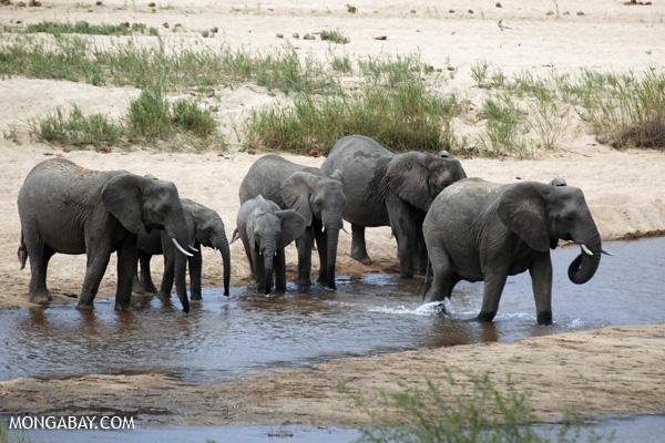 Elefantes en el Parque Nacional Kruger en Sudáfrica. Foto: Rhett A. Butler