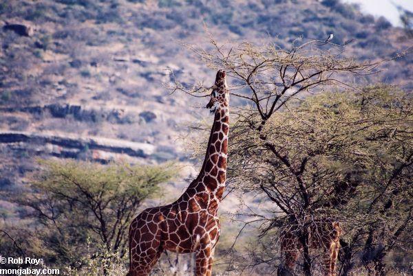 Una jirafa en Kenia. Foto: Rhett A. Butler
