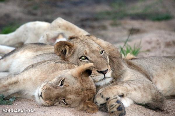 Leones en el Parque Nacional Kruger, Sudáfrica. Foto: Rhett A. Butler