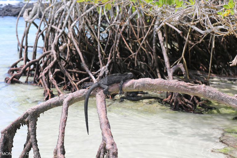 Iguana marina en los manglares de Galápagos. Foto: Rhett A. Butler.