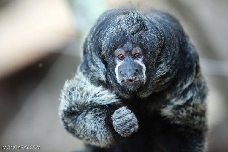 Animales de Colombia: El saki cabelludo (Pithecia monachus) o mono volador, como es conocido en ciertas zonas del suroeste de Colombia. Son animales muy tímidos y forman grupos familiares. Foto: Rhett A. Butler