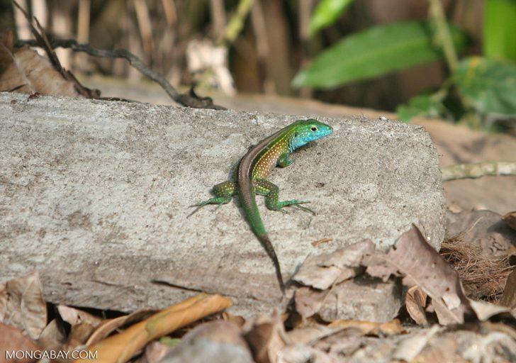 Animales de Colombia: La lagartija de cola de látigo (Cnemidophorusdeppei) es muy conocida por su velocidad y colores vistosos. Foto: Rhett A. Butler
