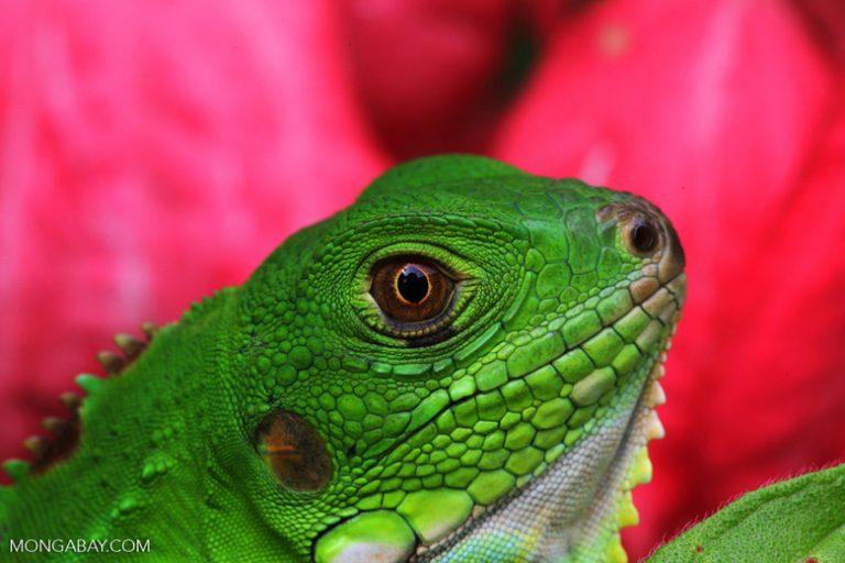 Animales de Colombia: La iguana verde (Iguana iguana) se encuentra en gran parte del territorio colombiano. Puede alcanzar los 2 metros de cabeza a cola y los 15 kilos de peso. Foto: Rhett A. Butler