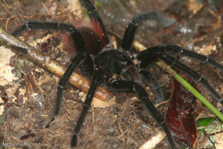 Animales de Colombia: La tarántula roja y negra (Pamphobeteus petersi) es una de las arañas más grandes, con un tamaño de hasta 16 centímetros y un carácter agresivo. Foto: Rhett A. Butler
