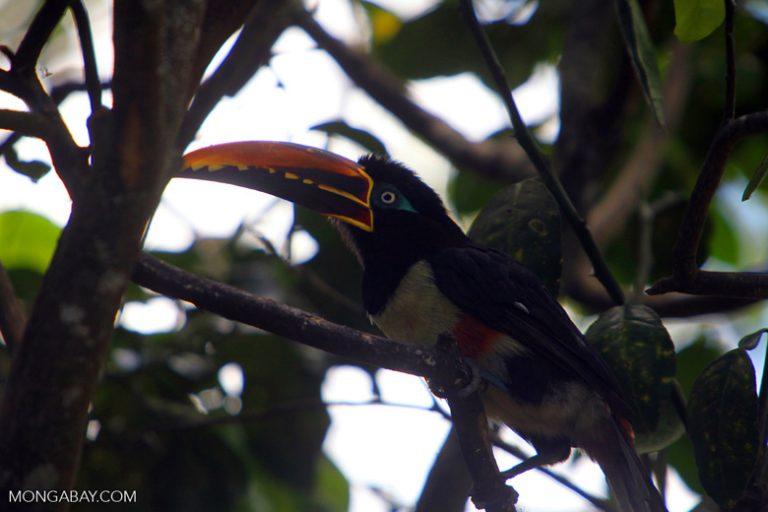 Animales de Colombia: El pichí bandarroja (Pteroglossus castanotis) vive en los bosques húmedos de Colombia. Alcanza los 47 centímetros y 310 gramos de peso. Foto: Rhett A. Butler