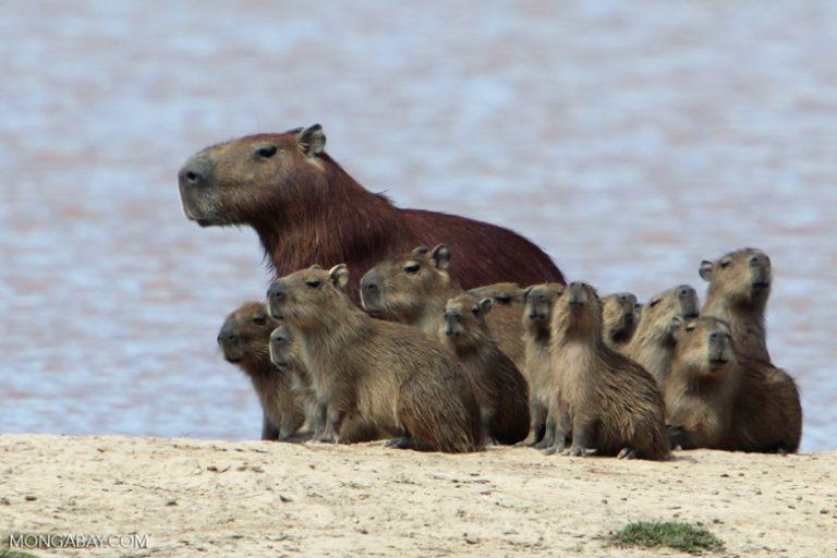 Animales de Colombia: Con un tamaño de 1.30 metros y hasta 65 kilos de peso, el capibara (Hydrochoerus hydrochaeris) es el roedor más grande del mundo. Habita regiones tropicales, siempre cerca de del agua. Foto: Rhett A. Butler