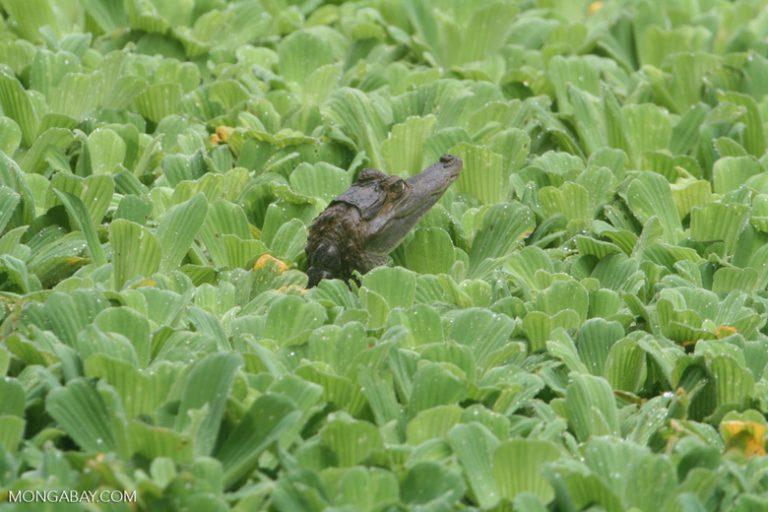 Animales de Colombia: El caimán negro (Melanosuchus niger) tiene un intenso color negro. Habita en la Amazonía y llega a medir 6 metros, por lo que pueden devorar a otros dos animales de esta lista, venados o capibaras, entre otras presas Foto: Rhett A. Butler