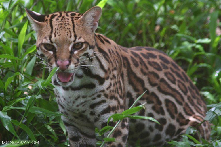 Animales de Colombia: El tigrillo (Leopardus pardalis) tiene tres subespecies que habitan en Colombia. Es nocturno y solitario. Son buenos nadadores y trepadores. Foto: Rhett A. Butler