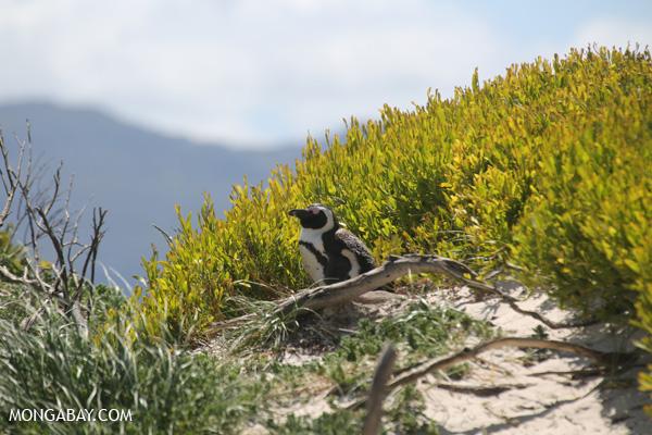 El pingüino de El Cabo (Spheniscus demersus) es la única especie de pingüino que vive en África. Foto: Rhett A. Butler
