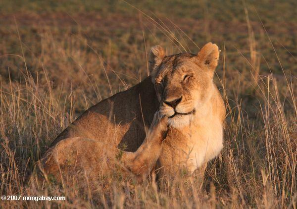 Una leona se rasca en Kenya