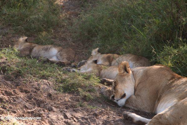 Una leona duerme con sus cachorros en Kenia.