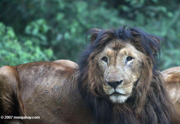 Un león de melena oscura en Kenia