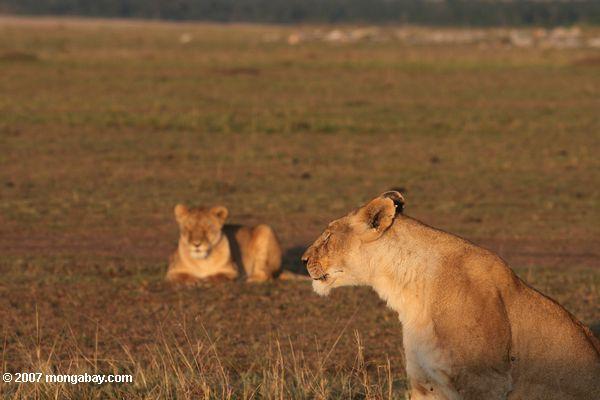 Leonas en Kenia.