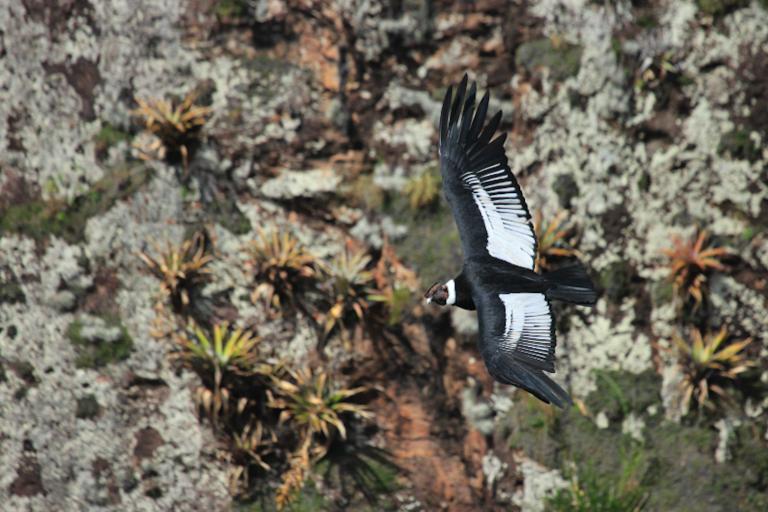 La trayectoria de un cóndor hembra permitió determinar el nuevo espacio de protección para esta especie. Foto: Fausto Cardoso.