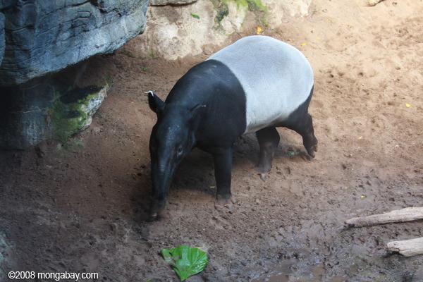 El tapir malayo (Tapirus indicus) es el único miembro del género que habita fuera del continente americano. Foto: Rhett A. Butler