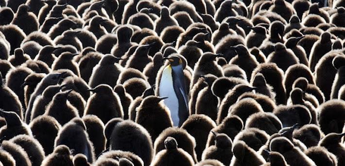 Pingüinos King (Aptenodytes patagonicus). Foto: WFN/Pablo García Borboroglu.