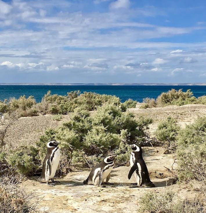Colonia de pingüinos Magallanes en la Patagonia, Argentina. Foto: WFN/Pablo García Borboroglu.