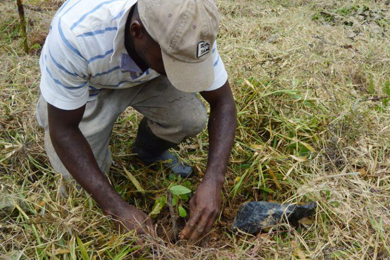Muchas personas de la comunidad 5 de junio Wimbí han visto en la palma de aceite su única forma de empleo. Foto: Comunidad 5 de junio Wimbí.