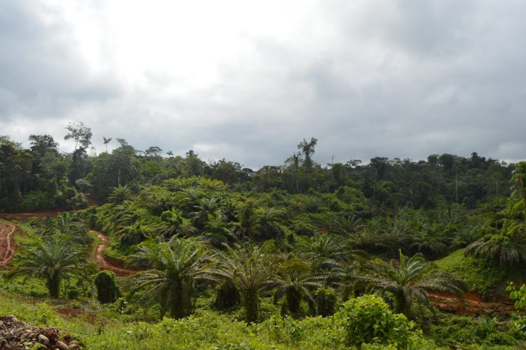 Cultivos de palma aceitera en Ecuador. Foto: Susana Morán.