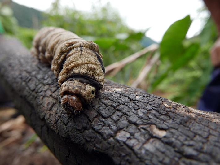 El chonkiri (gusano) es una de las delicias que nacen en los troncos de sus árboles. Es una gran fuente de energía para el fuerte desgaste físico que realizan día a día. Foto: Jack Lo.