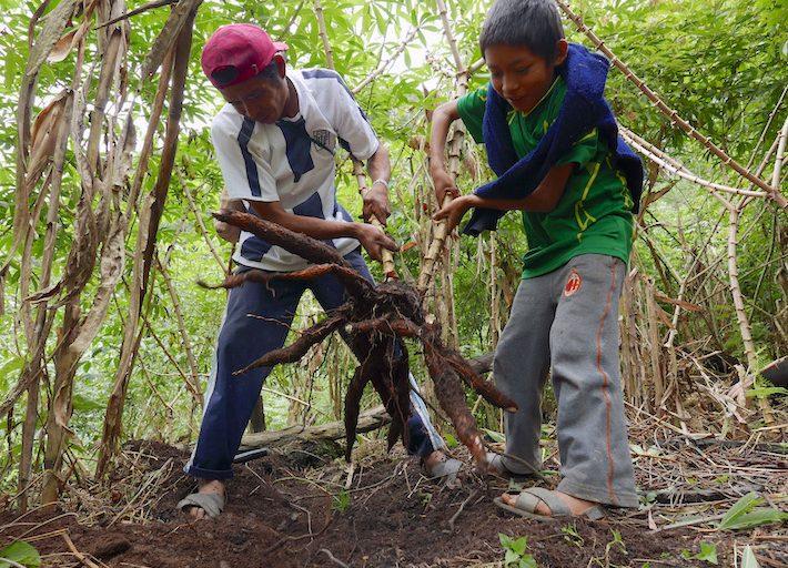 Todas las familias se dedican a los cultivos. Tienen yuca, plátano, uncucha, mani, caña, café, cacao. La gran parte de su producción es para autoconsumo. Foto: Jack Lo.