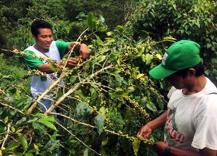 A pesar de no contar con grandes producciones, el café es una de sus principales fuentes de dinero frente a la deforestación existente y los cultivos de coca. Foto: Jack Lo.
