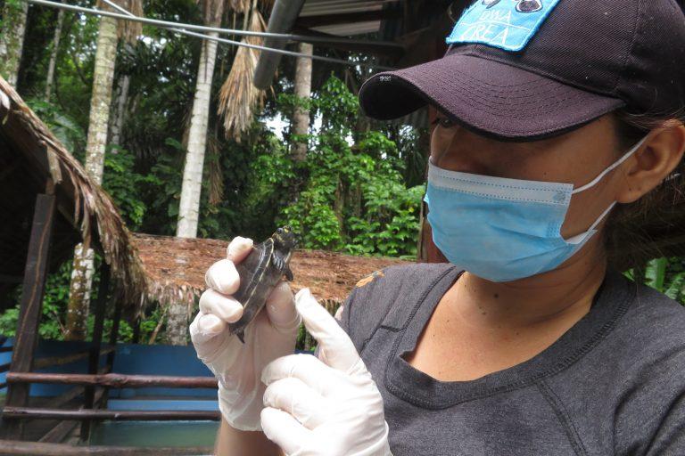 Kelly Tupayari se encarga de la rehabilitación de nutrias, monos y otras crías de fauna silvestre que llegan al Centro de Rescate Amazónico. Foto: Yvette Sierra Praeli.
