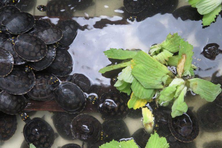 Las crías de cinco especies de tortugas fueron repatriadas a Perú, luego de que las autoridades de Holanda observaran las malas condiciones en su traslado. Debían llegar a Asia, pero terminaron en el Centro de Rescate Amazónico de Iquitos. Foto: Yvette Sierra Praeli