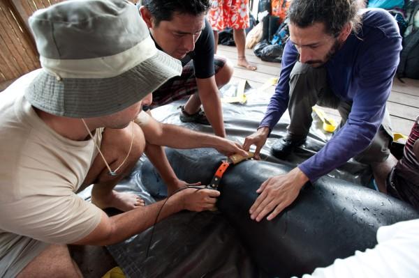 Tras su liberación, los manatíes son monitoreados mediante un radio transmisor que colocan en su cola. Foto: Centro de Rescate Amazónico.