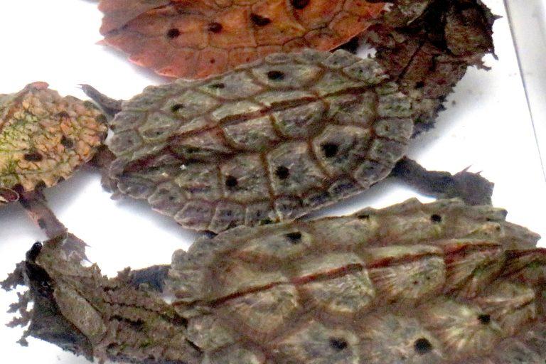 La tortuga matamata tiene la apariencia de un trozo de corteza de árbol, que le permite camuflarse de sus depredadores. Foto: Yvette Sierra Praeli.