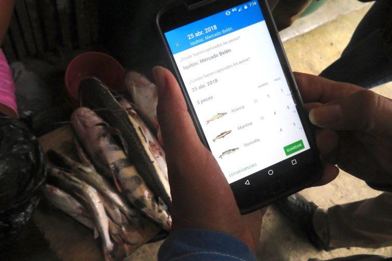 Un total de 21 especies de peces migratorios de la cuenca del Amazonas serán monitoreados con el app Ictio. Foto: Yvette Sierra Praeli.