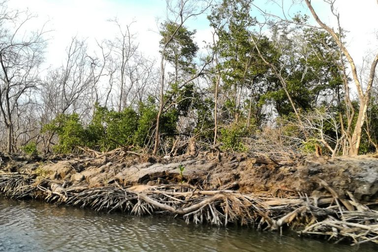 Muerte de manglares en la Ciénaga Grande de Santa Marta. Foto: Sandra Vilardy.