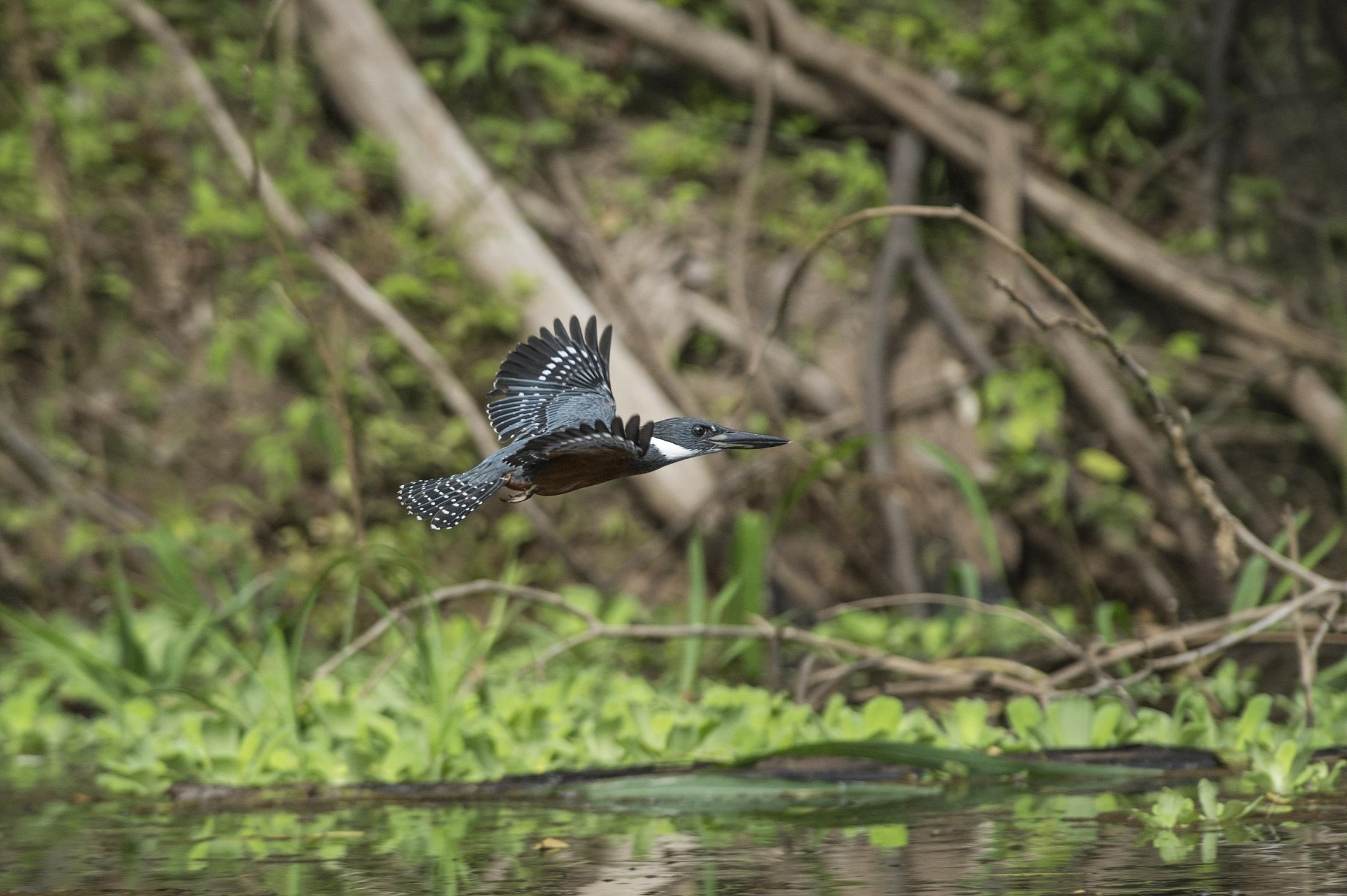 El avistamiento de aves es una de las actividades que se pueden impulsar en los humedales. En la foto, un martín pescador en la Reserva Nacional Pacaya Samiria. Foto: Promperú.