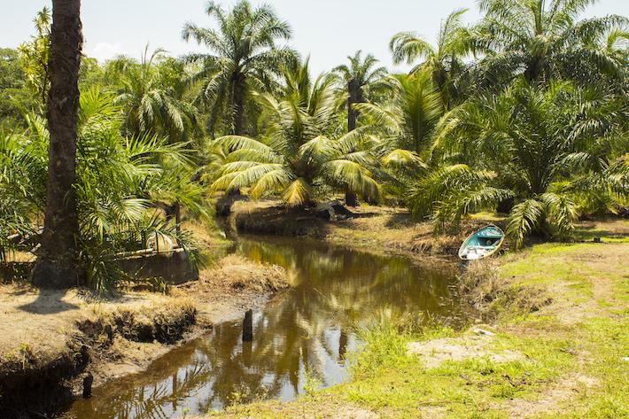 Muelle rodeado por árboles de palma aceitera, en el horizonte se asoman los manglares de los bosques primarios. Tela, Honduras, Abril 2017. Foto: Jessica Guifarro.