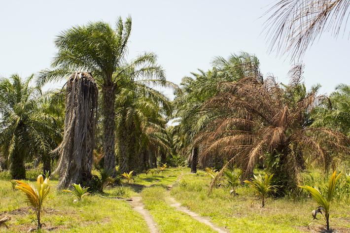 Tierras de Ramiro Reyes, usufructuario de la zona núcleo del parque y vecino de Salomón Urbina. La palma africana va copando el terreno. Foto: Jessica Guifarro.