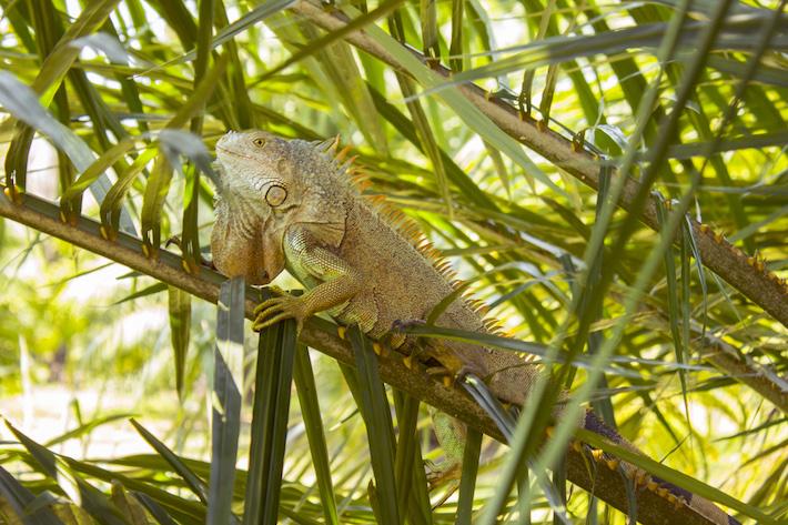 Iguana tomando el sol en la rama de un árbol de palma africana en las tierras de Ramiro Reyes, usufructuario de la zona núcleo del Parque Kawas. Foto: Jessica Guifarro.