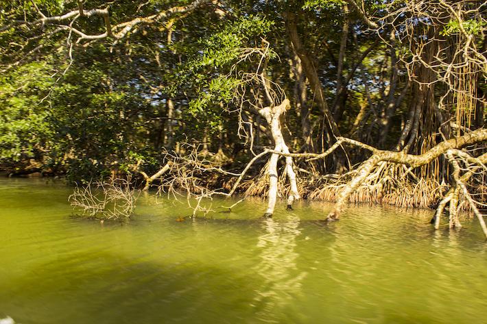 Isla de manglares que entrelazan sus raices en la Laguna de los Micos. En julio del año pasado han muerto el 80 % de los peces, a causa de la eutrofización que cubre el lago. Varias comunidades cultivan palma africana en su orilla. Foto: Jessica Guifarro.