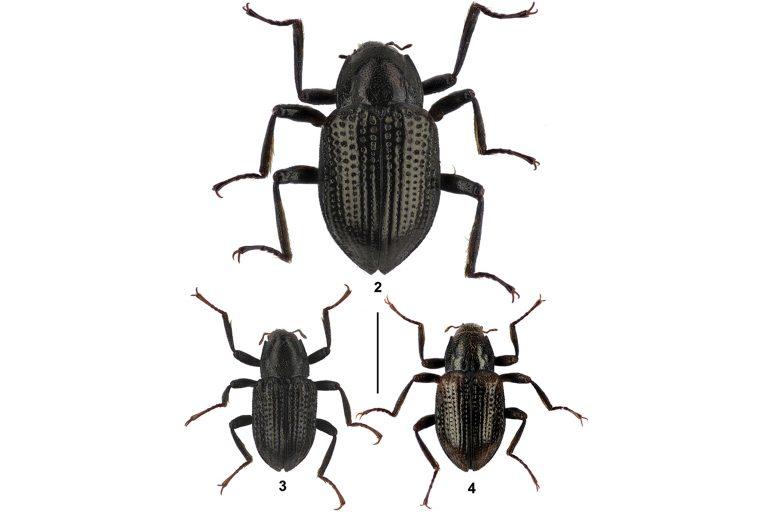 Escarabajo Di Caprio: Los escarabajos descubiertos: Grouvellinus leonardodicaprioi (arriba), G. andrekuipersi (abajo izquierda) y G. quest (abajo derecha). Foto: Zoo Keys.