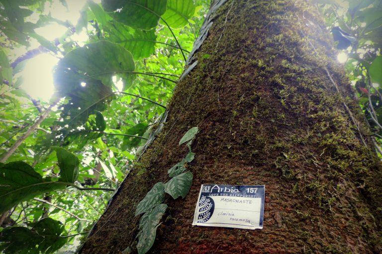 Un árbol de mashonaste (Clarisia racemosa), una de las especies protegidas en el bosque de Arbio Perú. Foto: Gianella Espinosa / Arbio Perú.