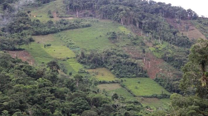 Los cultivos ilegales de coca se apoderaron de más territorio en el 2012, en muchos casos donde antes se producía uno de los mejores granos de café del mundo. Foto: Vanessa Romo.