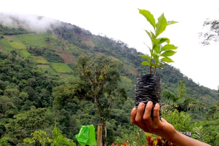 Desde el 2012, los cultivos ilegales de coca se apoderaron de más territorio, en muchos casos donde antes se producía uno de los mejores granos de café del mundo. Foto: Vanessa Romo.