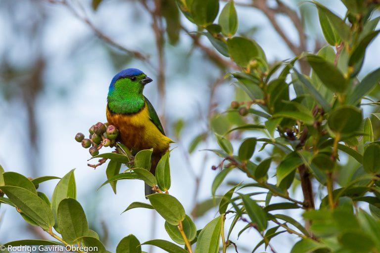 En la región de Antioquia se registraron 34 especies que no habían sido listadas antes en el Global Big Day. Foto; Rodrigo Gaviria Obregón.