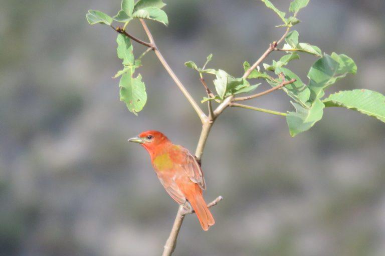 Perú obtuvo el segundo lugar con 1491 aves observadas en un solo día. Foto: Aves del Perú.