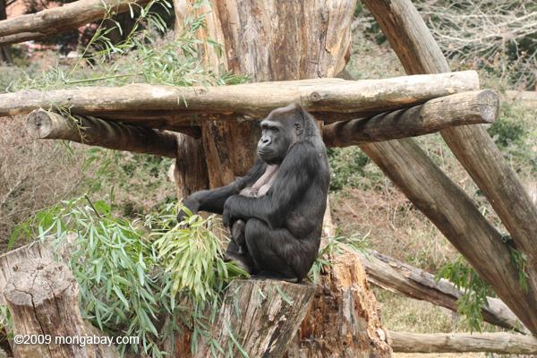 Al no alcanzar la madurez sexual hasta los 8 o 9 años, el gorila occidental de llanura o planicie (Gorilla gorilla gorilla) tiene pocas crías, que nacen muy indefensas. Las madres cargan con sus hijos hasta los 3 años. Foto: Rhett A. Butler / Mongabay