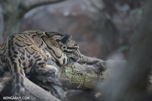 La pantera nebulosa (Neofelis nebulosa) se encuentra en estado Vulnerable, según la IUCN. Foto: Rhett A. Butler