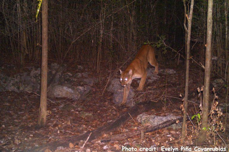 Los monitores acústicos se han utilizado en zonas reservadas de Yucatán, México, hábitat de jaguares y pumas. Foto: Evelyn Piña Covarrubias / Universidad de Southampton.