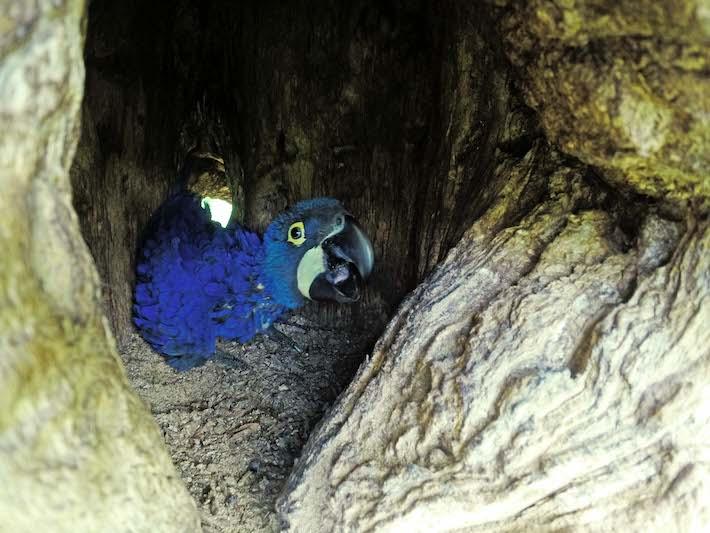Los pichones nacen casi desnudos, con pocos plumones blancos recubriendo su cuerpo, y con los ojos y oídos cerrados. Las crías dejan el nido en un período de 97-120 días después de haber nacido. Foto: Willy Montaño/ Fundación CLB