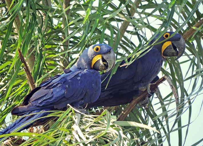 La paraba azul tiene una sola pareja para toda la vida. Alcanzan la madurez sexual entre los seis y siete años. Foto: Willy Montaño/ Fundación CLB